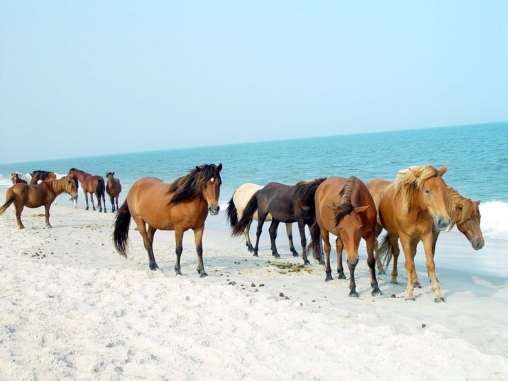 MARYLAND: A barrier island shared between Maryland and Virginia, Assateague Island is famous for its wild horses. Local folklore says a shipwreck brought the horses there.