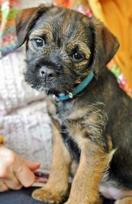 Border Terrier pup...such a sweet face! Looks like my little nephew pup Hank as a puppy
