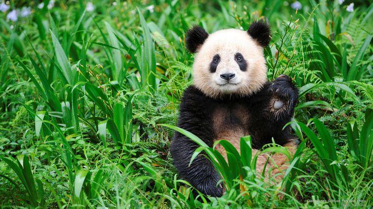 Giant Panda, Sichuan Province, China by NHPA