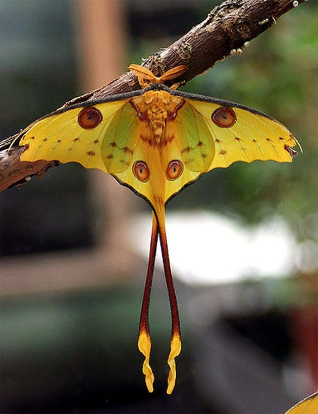COMET MOTH This big guys cocoon has a hole in it, so it doesnt drown in the downpours of the rain forest in Madagascar.