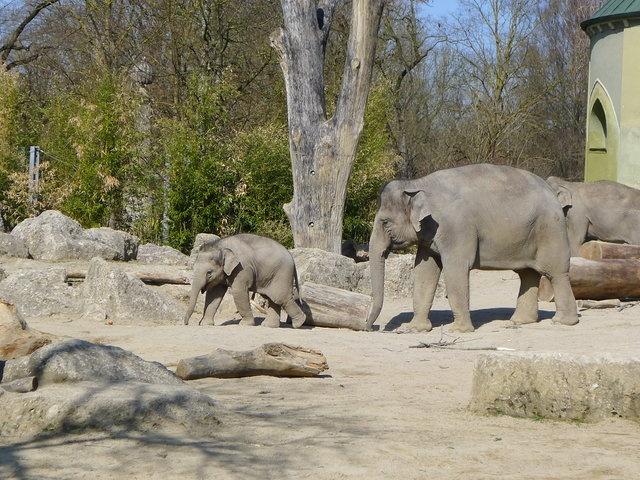 Elefanten im #Zoo_München - der Tierpark Hellabrunn ist ein beliebter #Ausflugstipp_für_Familien.