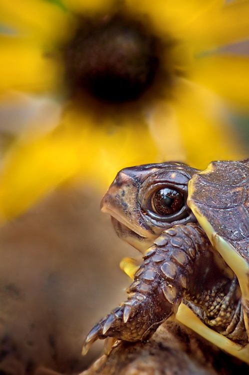 """""""Turtle with a sunflower in the background. Love how the edges of his color match the flower's petals.  ~cam"""""""