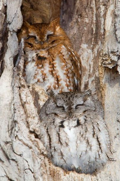 Two owls with prints that resemble wood grain.