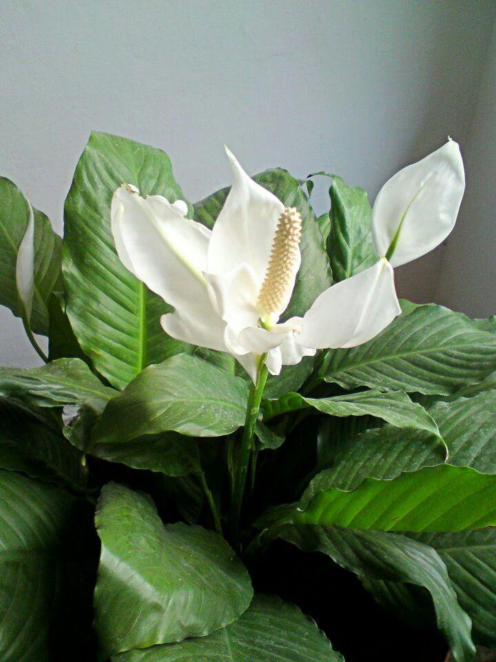 Cuna de Moises, extraordinaria flor celestial.