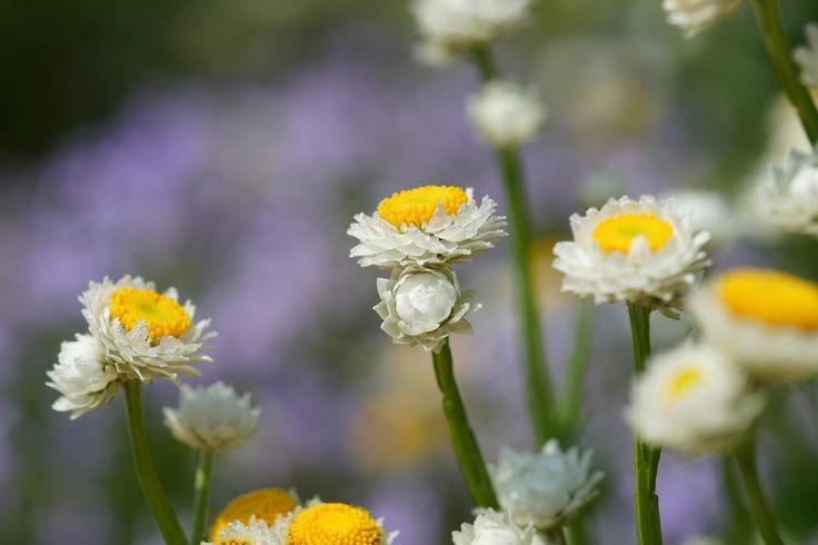 https://flic.kr/p/ofme1y | かいざいく/Ammobium alatum | 20140625-DSC01938 かいざいく/Ammobium alatum キク科カイザイク属 京都府立植物園/Photo was taken in The Kyoto Botanical Garden