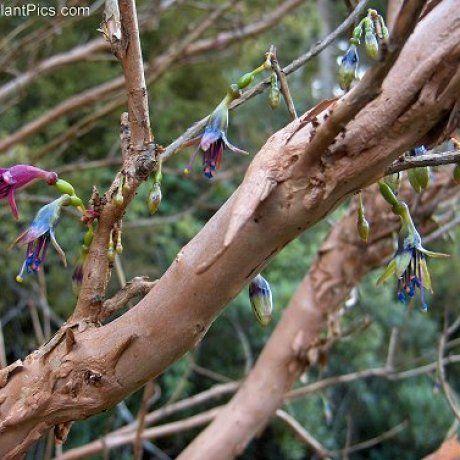 Kotukutuku - Tree Fuchsia (Fuchsia excorticata)