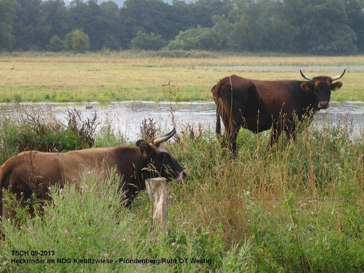 Heckrinder im Naturschutzgebiet Kiebitzwiese in Froendenberg/Ruhr Ortsteil Westig