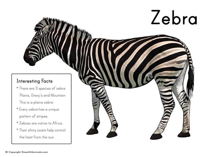 Zebra facts | Safari theme | Pinterest | Zebras and Facts