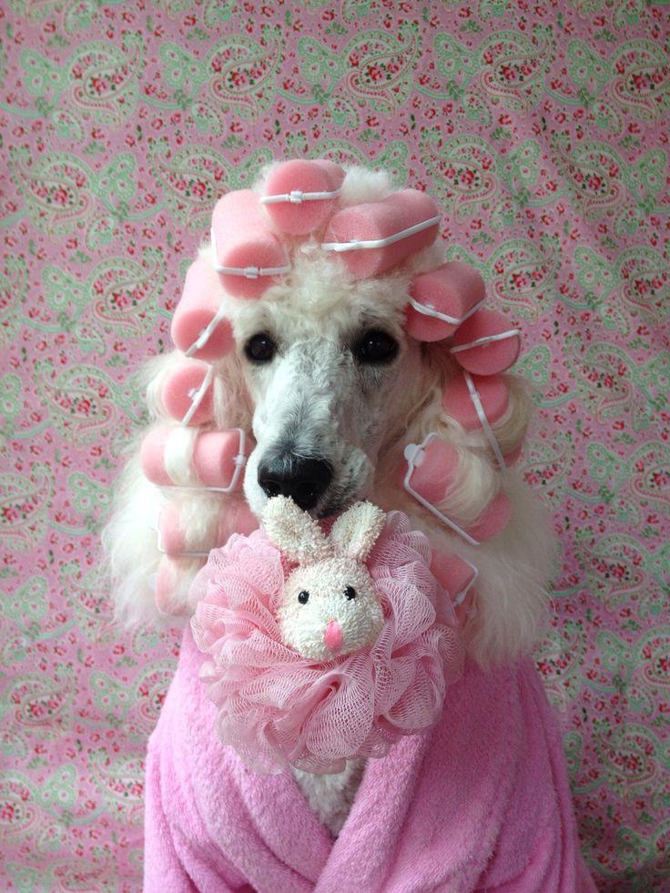 """Tell them I'm indisposed!"" #dogs #pets #Poodles Facebook.com/sodoggonefunny"