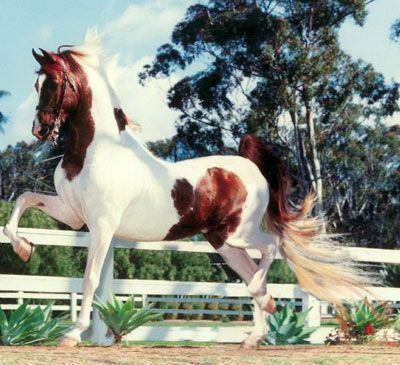 pinto american saddlebred