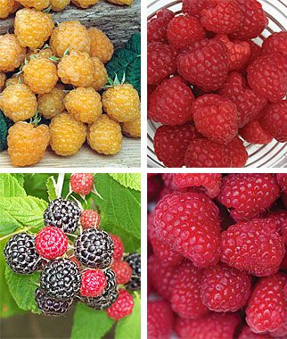 Raspberry, Tricolor Collection  The three most favorite color raspberries in one collection.  One Plant each of Yellow Anne, Red Heritage, Black Jewel, and Red Killarney.