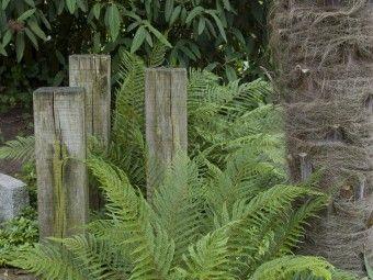 Zachte naaldvaren (Polystichum setiferum 'Pulcherrimum Bevis') - p9