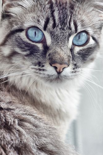 Gorgeous lil' lady blue eyes. This kitty looks just like my girl Joey, maybe longer hair though.