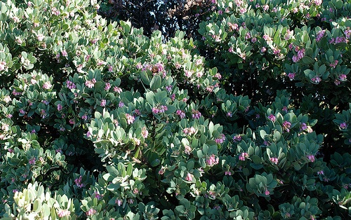 Arctostaphylos - Manzanita groundcover