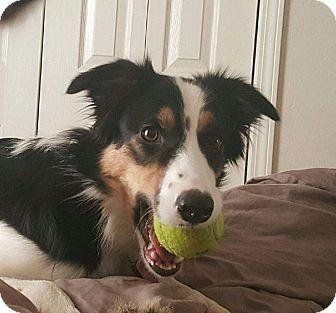 Allen, TX - Border Collie Mix. Meet Lilo, a dog for adoption. http://www.adoptapet.com/pet/16988355-allen-texas-border-collie-mix
