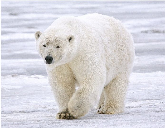 Perhaps the more interesting question is – how many of the world's 19 polar bear populations may become endangered in the near future by climate change? Description from wsu-nature.org. I searched for this on bing.com/images