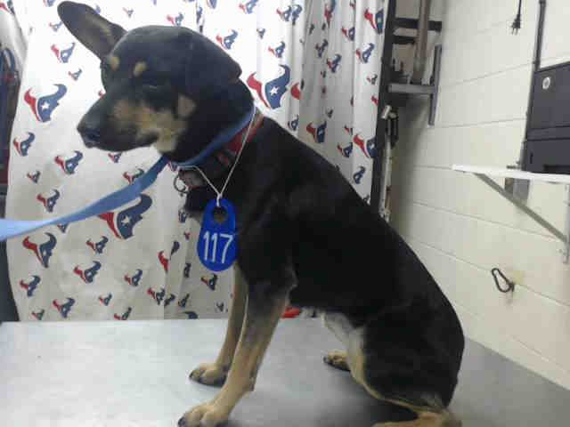 11/15/16-HOUSTON - SUPER URGENT - HIGH KILL FACILITY IS OVER CAPACITY -This DOG - ID#A471952 I am a female, black and tan Manchester Terrier. The shelter staff think I am about 1 year and 6 months old. I have been at the shelter since Nov 08, 2016. This information was refreshed 21 minutes ago and may not represent all of the animals at the Harris County Public Health and Environmental Services.