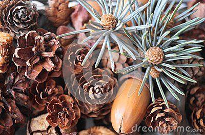 Fir branch and fir cones