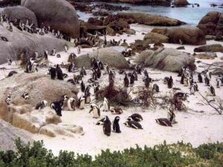 Boulders Beach - Pinguine machen Urlaub in Afrika