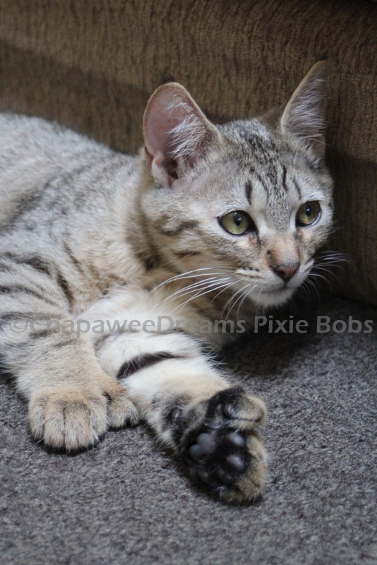 1000+ images about Pixie Bob cat on Pinterest | Baltimore ...