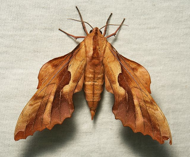Hawk Moth (Phyllosphingia dissimilis perundulans, Sphingidae) by itchydogimages, via Flickr