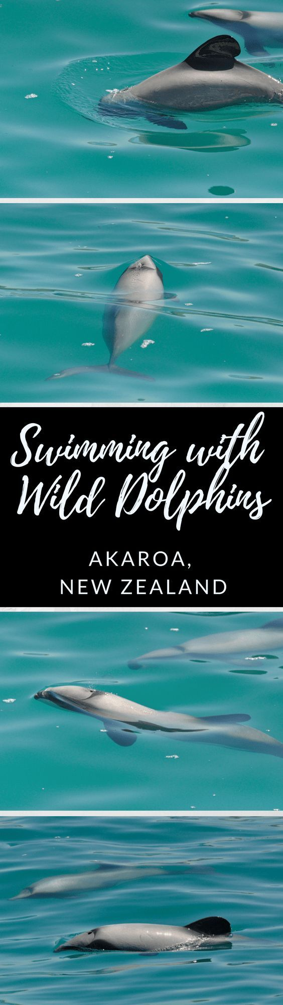 Swimming with dolphins in Akaroa is an incredible experience that shouldn't be missed! Akaroa is the best place to swim with dolphins in New Zealand. And it's the only place in the world to swim with the endangered Hector's Dolphins in the wild. Read more about the Akaroa dolphins here! #dolphins #diving #NewZealand #wilddolphins