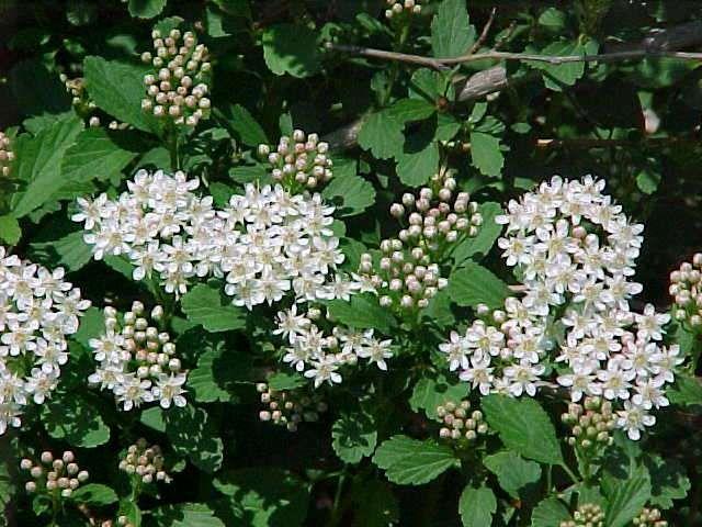 Ten Top Tips For Small Shady Urban Gardens: Physocarpus Opulifolius, Ninebark, 5-8, Dry Shade