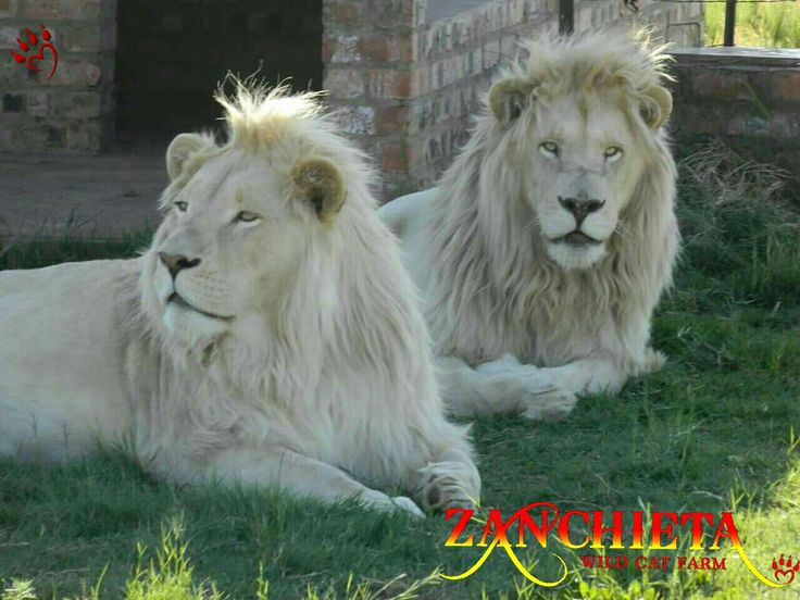 #zanchietawildcatfarm two #teenagers, Zoltan and Casper. Why teenagers? Alwys hungry, will eat anything and NEVER listen