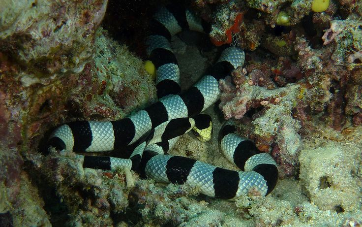 We Found This Venomous Elapid Snake With A Paddle Like Tail Out Feeding On Coral Bommie At 15 Metres Depth Photo Taken Drift Dive An Outer Reef