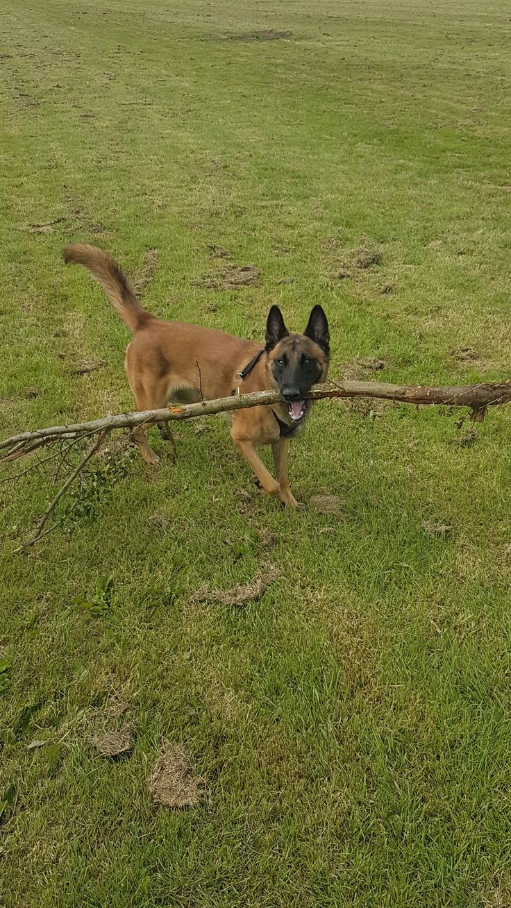 3 year old Belgian malinios playing fetch with a tree... coz there is no off switch!!!