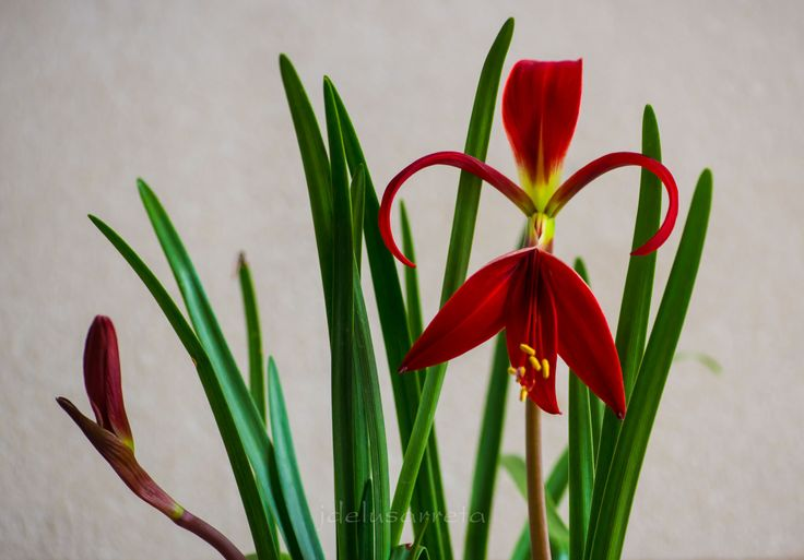 Flor de Lis,la flor heraldica
