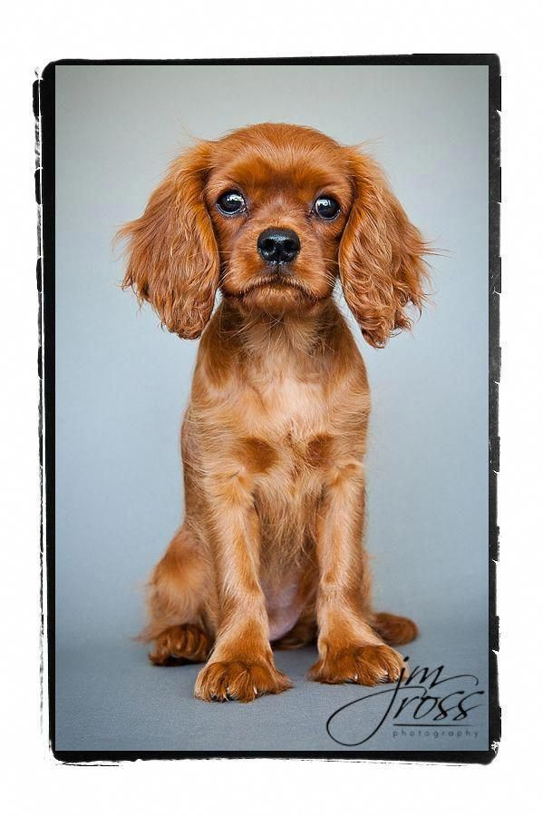 Cavalier King Charles Spaniel Graceful And Affectionate In 2020 King Charles Cavalier Spaniel Puppy Cavalier King Charles King Charles