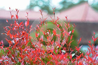 red leaves in the rainy season
