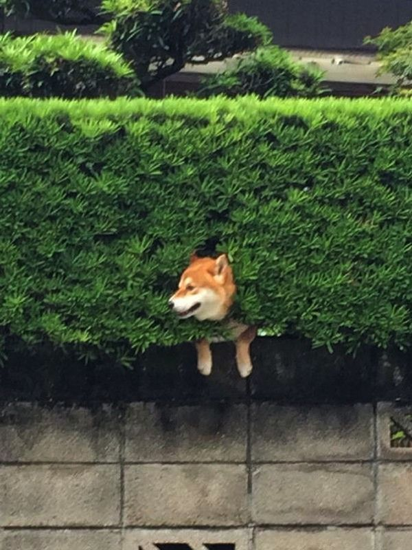 This Dog Gets Stuck In A Bush. Now His Adorable Pictures Are Melting Hearts All Over The Net.