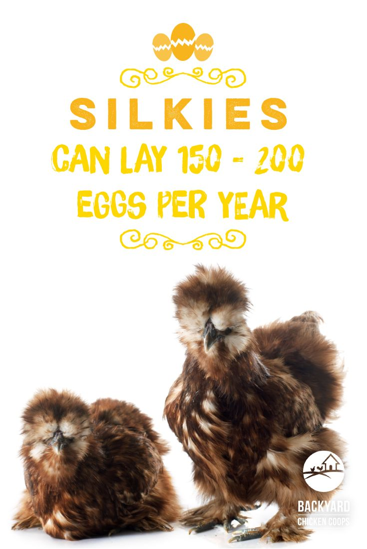best egg laying chickens elegant chicken breeds green eggs with