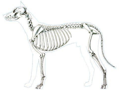 Dog Skeleton Anatomy Diagram Unlabeled Auto Electrical Wiring