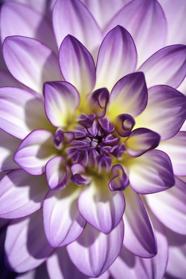 Dahlia by  Alan Shapiro, 500px #Dahlia