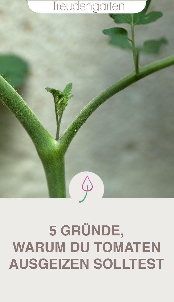 5 Grunde Warum Das Ausgeizen Von Tomaten Pflanzen So Wichtig Ist Tomaten Pflanzen Tomaten Tomaten Garten