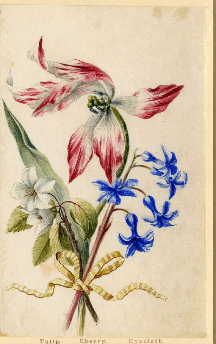Drawing from an album, crimson and white Tulip, white Cherry blossom and blue Hyacinth, tied with yellow ribbon Watercolour over metalpoint, shaded with grey wash, on vellum by Alexander Marshall. British, date 1639-1682.