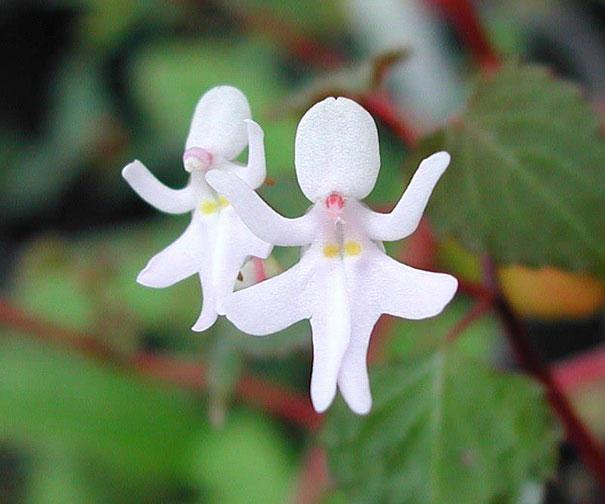 Impatiens Bequaertii - Cette espèce rare, de la famille des Impatiens de la famille des balsaminacées, pousse dans les forêts tropicales d'Afrique de l'Est. Le plus souvent blanches, ces fleurs peuvent également être roses.