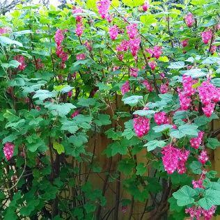ribes sanguineum 09042015 garden plantsgarden ideas