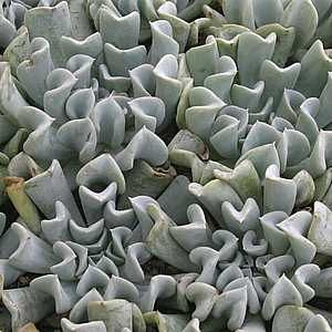 Echeveria runyonii 'Topsy Turvy' just bought a little one