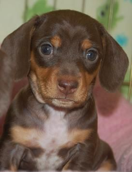 Miniature, short-haired, chocolate and tan Dachshund puppy! My dream dog! <3