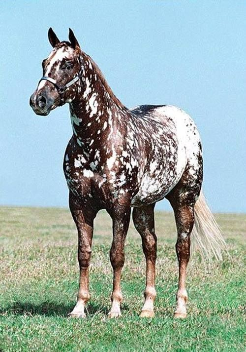 snowflake or marble appy with spotted blanket breeds