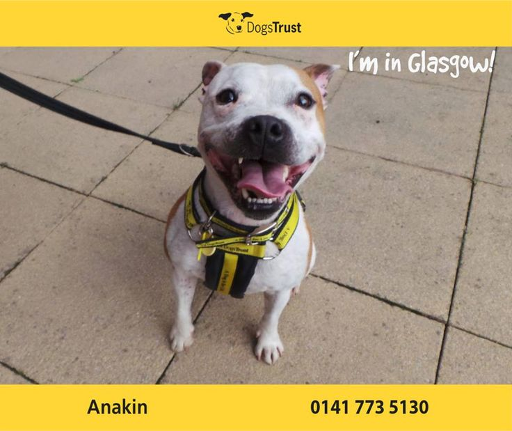 Anakin at Dogs Trust Glasgow is a cheeky wee chap who is super clever. He loves a treat for learning something new. He just loves meeting people and almost smiles when he does.