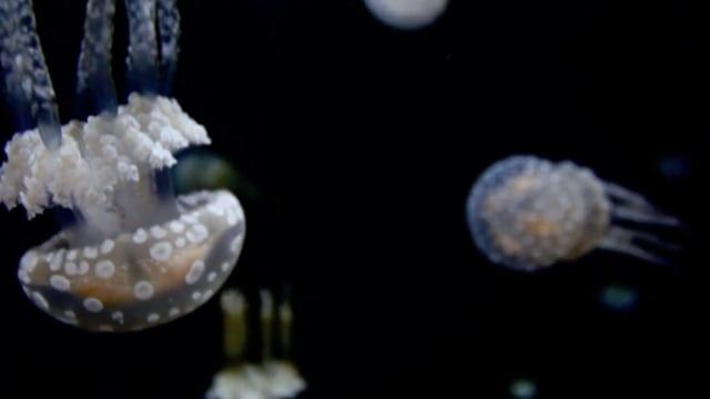 Jellyfish shot with a Canon 550d. Music is Send And Receive by Tycho.