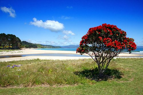 NZ's christmas tree!  Pohutukawa on Beach, New Zealand summer