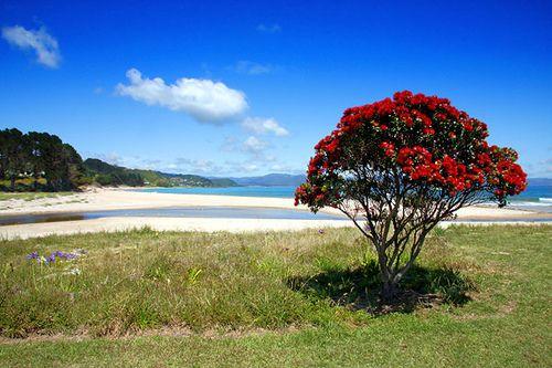 NZ's christmas tree! Pohutukawa on Beach, New Zealand summer