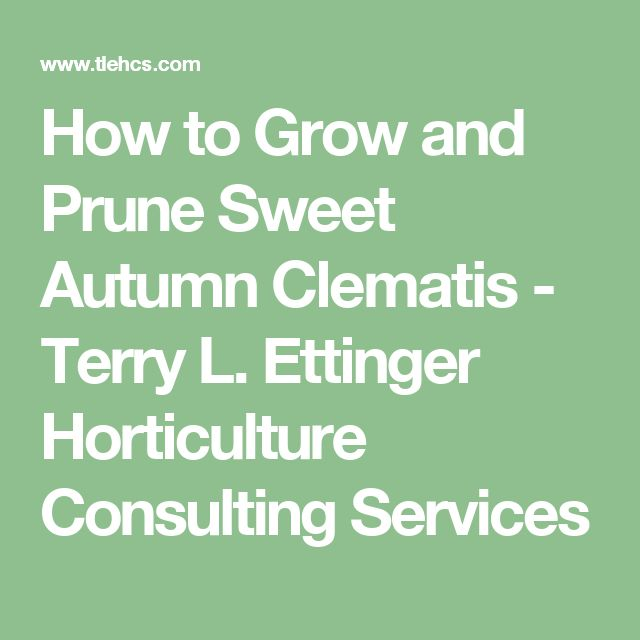 How to Grow and Prune Sweet Autumn Clematis - Terry L. Ettinger Horticulture Consulting Services