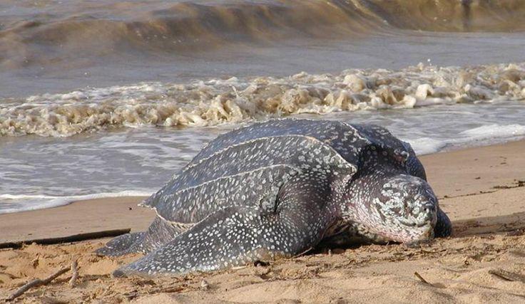 Awala Yalimapo, royaume des tortues Luth